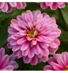 Цинния Double Zahara Raspberry Ripple 5 шт семян