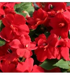 Бальзамин Athena Red 5 шт семян