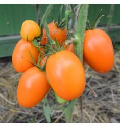 Томат Чиондоло Оранжевый 5 шт семян