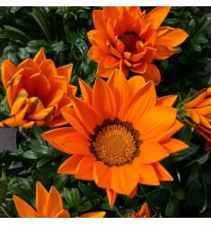 Газания Big Kiss F1 Orange 5 шт семян