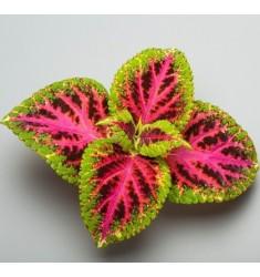 Колеус Rainbow Color Pride 10 шт семян
