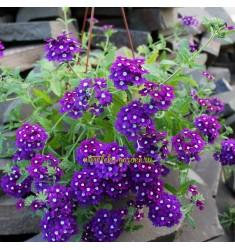 Вербена ампельная Obsession Cascade Purple Shades with Eye 5 шт семян