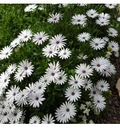 Остеоспермум Akila White 3 шт семян