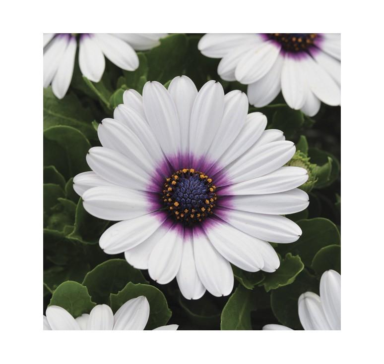Остеоспермум Akila White Purple Eye 3 шт семян