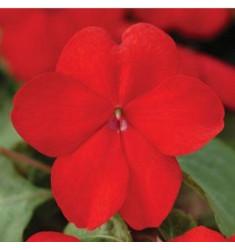 Бальзамин Super Elfin Red 5 шт семян