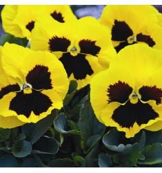 Виола Mammoth F1 Queen Yellow Bee 5 шт семян