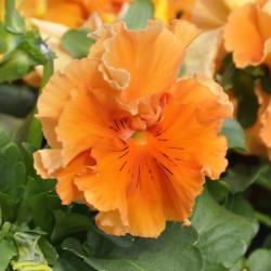 Виола Frizzle Sizzle Orange 5 шт семян