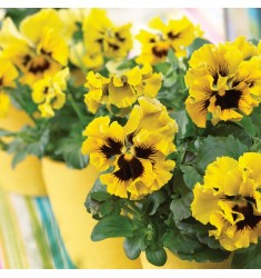 Виола Frizzle Sizzle Yellow 5 шт семян