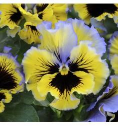 Виола Frizzle Sizzle Yellow Blue Swirl 5 шт семян