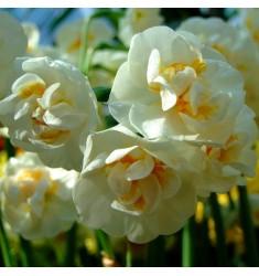 Нарцисс Bridal Crown 1 шт разбор 14+