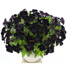Черенки петунии Crazytunia Black Mamba 1 штука
