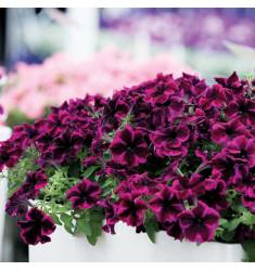 Черенки петунии Crazytunia Cosmic Purple 1 шт