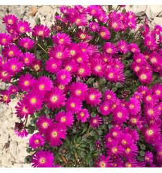Черенки Delosperma Cooperi Jewel of Desert Opal 1 шт