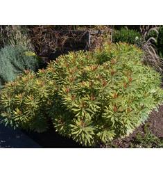 Черенки Euphorbia Ascot Rainbow 1 шт
