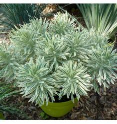 Черенки Euphorbia Тasmanian Тiger 1 шт