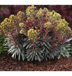 Черенки Euphorbia Purpurea 1 шт