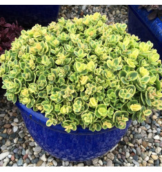 Черенки Sedum Sunsparkler Lime Twister 1 шт