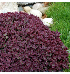 Черенки Sedum Sunsparkler Firecracker 1 шт