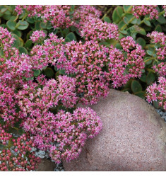 Черенки Sedum Sunsparkler Lime Zinger 1 шт