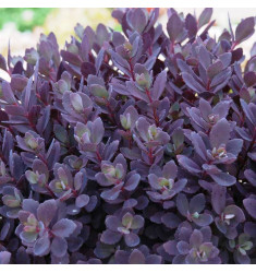 Черенки Sedum Sunsparkler Plum Dazzeld 1 шт
