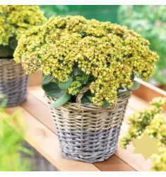 Черенки Sedum Telephium Seduction Green-Yellow 1 шт