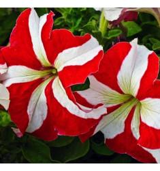 Петуния крупноцветковая Танго Красная с белой звездой 15 шт др
