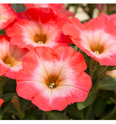 Петуния крупноцветковая Танго Красная с белой горловиной 15 шт др