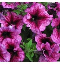 Петуния крупноцветковая Снени 10 шт драже