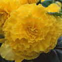 Бегония клубневая AmeriGybrid Ruffled Series F1 Yellow 3 шт др