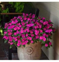 Бальзамин уоллера Beacon Violet Shades 5 шт семян
