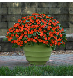 Бальзамин уоллера Beacon Orange 5 шт семян