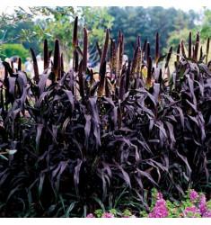 Пеннисетум высокорослый Purple Baron 3 шт семян