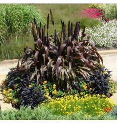 Пеннисетум высокорослый Purple Majesty 3 шт семян