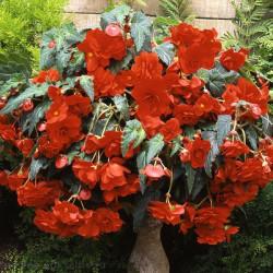 Бегония ампельная Sun Dancer Scarlet Orange 3 шт драже