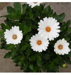 Остеоспермум Akila Daisy White 3 шт семян