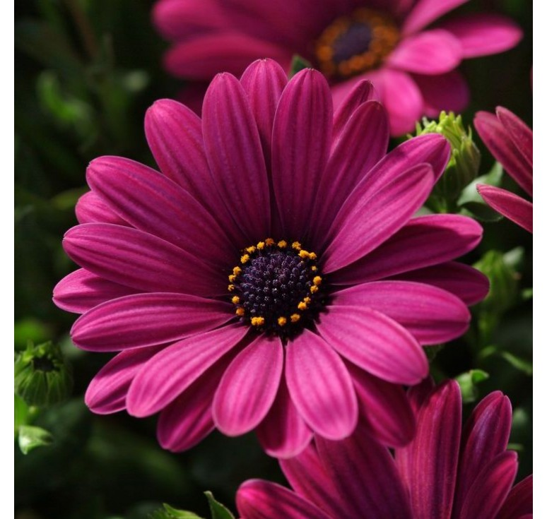 Остеоспермум Akila Purple 3 шт семян