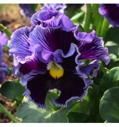 Виола Frizzle Sizzle Blue 5 шт семян