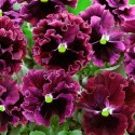 Виола Frizzle Sizzle Burgundy 5 шт семян