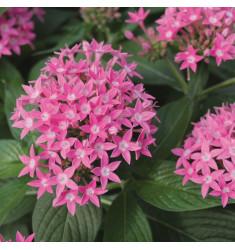 Пентас Butterfly Deep Pink 3 шт драже