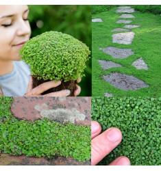 Мята почвопокровная Corsican Mint 5 шт мдр