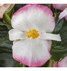 Бегония гибридная Tophat Rose Bicolor 3 шт драже