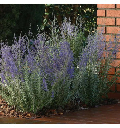 Перовския Blue Steel 3 шт семян