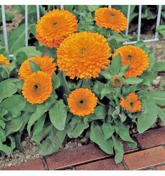 Календула махровая Zen Orange 10 семян