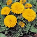 Календула махровая Zen Gold 10 семян