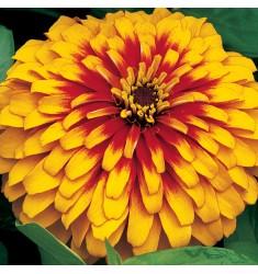 Циннии Swizzle Scarlet Yellow 3 шт семян