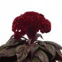 Целозия гребенчатая Дракула 3 шт семян