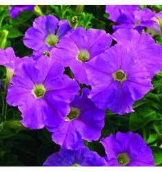 Петуния Picobella F1 Lavender Imp 5 шт драже