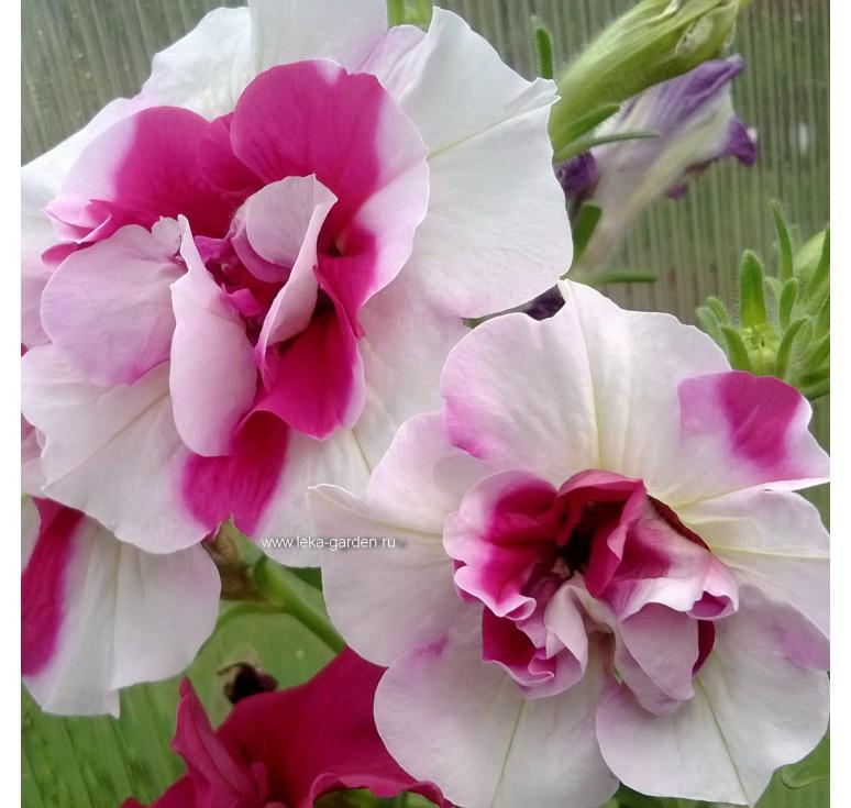 Петуния Duo F1 Rose And White 10 шт семян