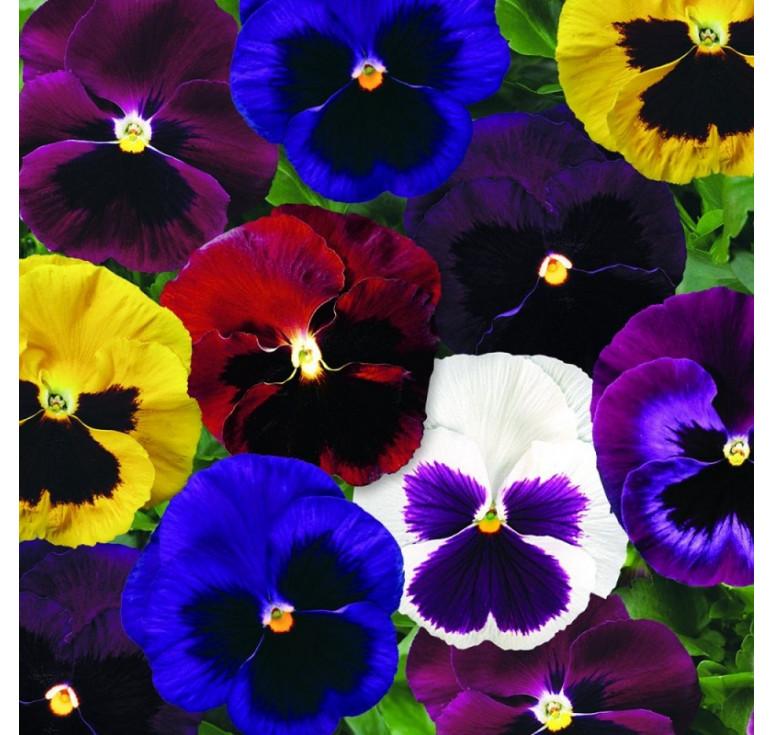 Виолы Сolossus Blotch Mix 50 шт семян