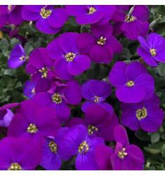Обриета гибридная Audrey Purple Shades 5 шт семян